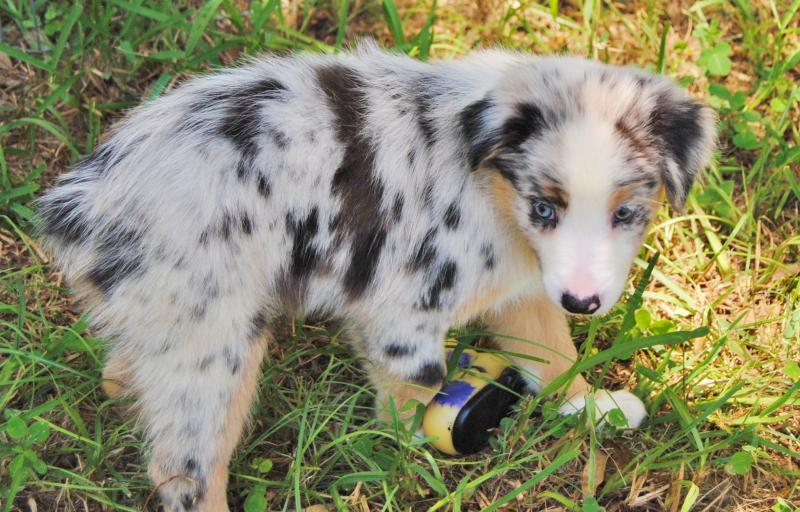 Shamrock Rose Aussies - UPDATE!! NEW PICTURES ADDED OF AVAILABLE PUPPIES 6/26/15 SCROLL DOWN TO ...