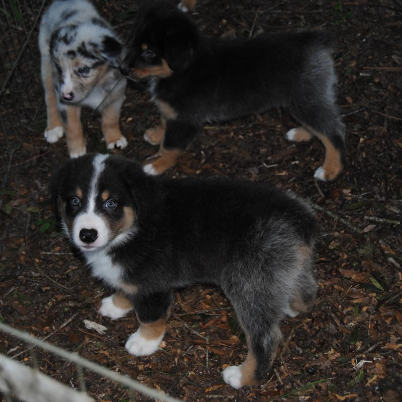 "Oh Law Firm >> Shamrock Rose Aussies - SCROLL DOWN FOR AVAILABLE PUPPIES BORN 8/10/16 ""FEATURED"" Past puppy ..."