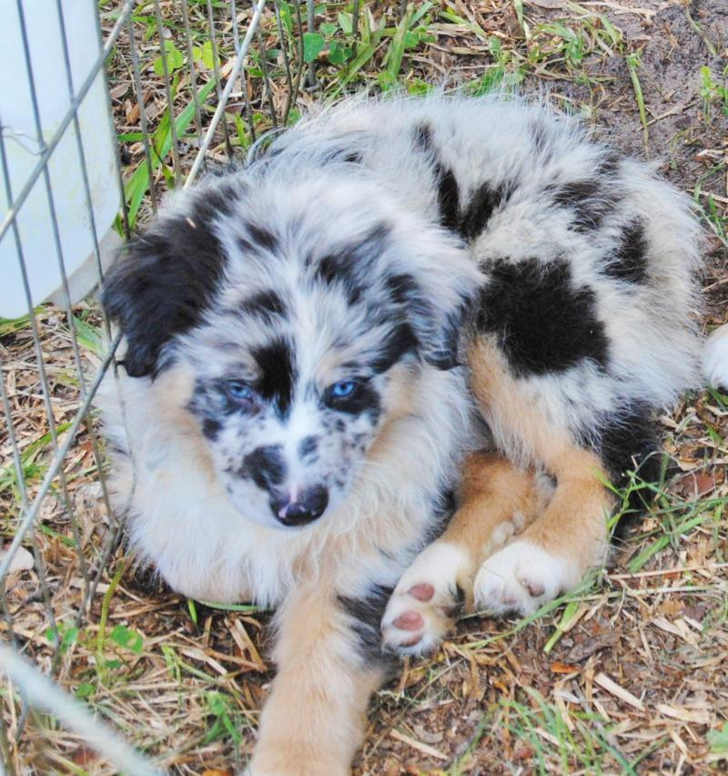 Car Wash Supplies Near Me >> Shamrock Rose Aussies - UPDATE!! NEW PICTURES ADDED OF AVAILABLE PUPPIES 6/26/15 SCROLL DOWN TO ...