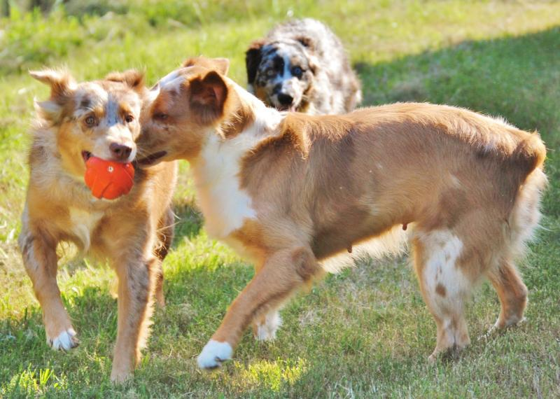 Car Wash Supplies Near Me >> Shamrock Rose Aussies - UPDATE!! AVAILABLE PUPPIES 7/29/15