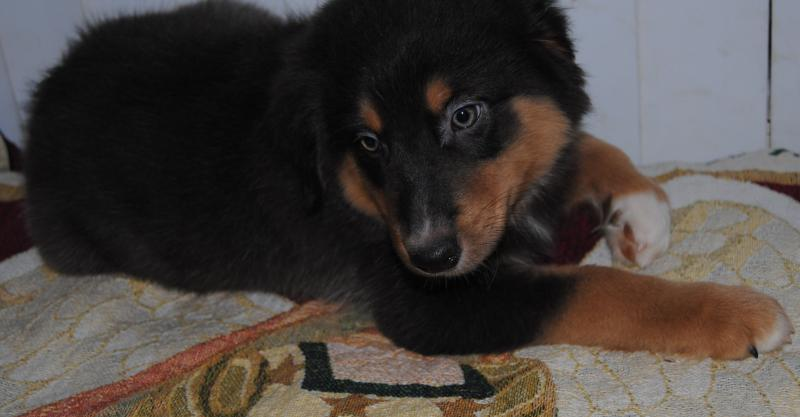Shamrock Rose Aussies - EXCITING NEWS!!! Summer litters