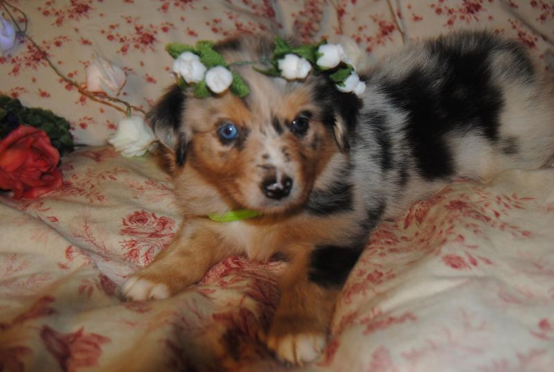 shamrock rose aussies