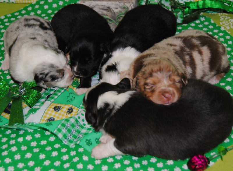 Happy st patrick s day from shamrock rose aussies
