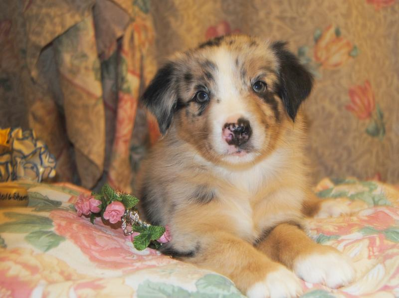 Shamrock Rose Aussies Update We Have Puppies Born 5