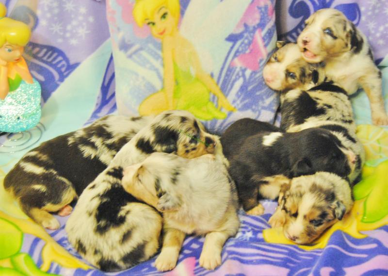ALL PUPPIES ARE NOW READY TO BE LOVED BY THEIR FOREVER FAMILIES ...