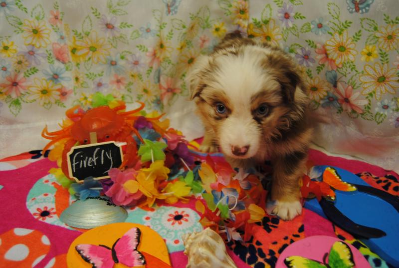 Oh Law Firm >> Shamrock Rose Aussies -  EXCITING NEWS!!! 2 Litters! WELCOME TO SHAMROCK ROSE AUSSIES! :) All ...