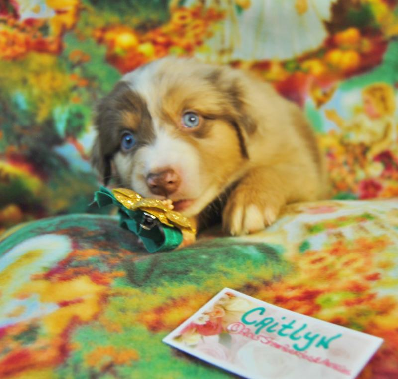 Shamrock Rose Aussies Update New Pictures Added Of