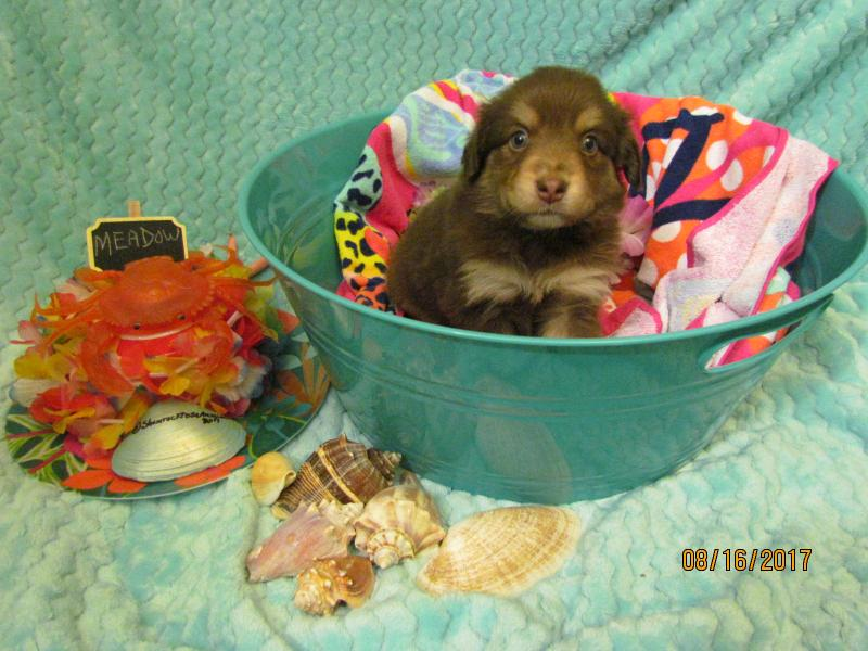 Shamrock Rose Aussies ϻ� Exciting News 2 Litters